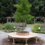 A custom built circular bench surrounds the Ginkgo tree. Click on thumbnail to enlarge view.